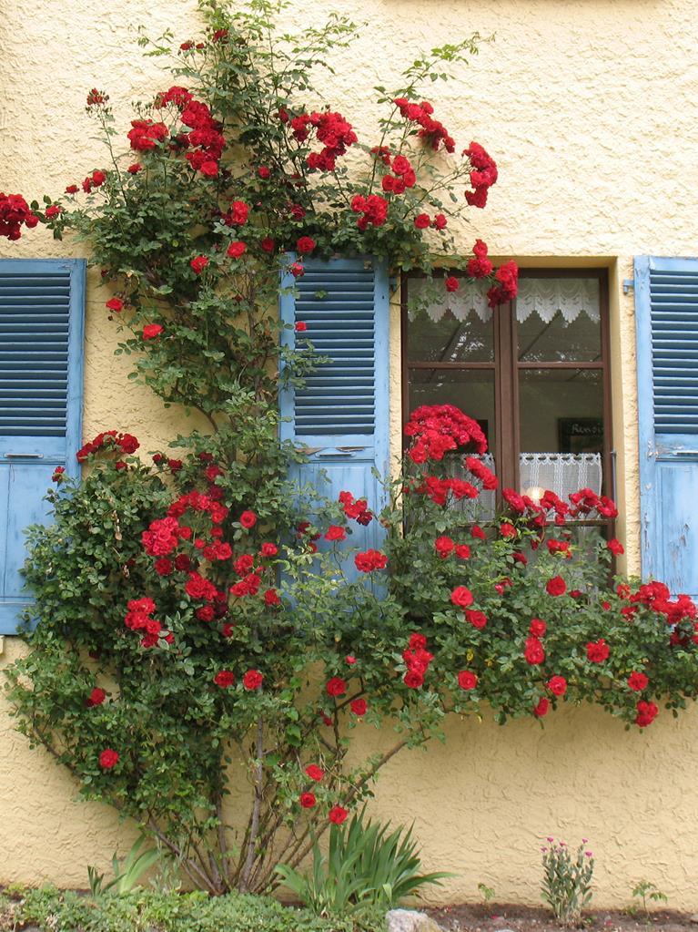 Le rosier et la fenêtre